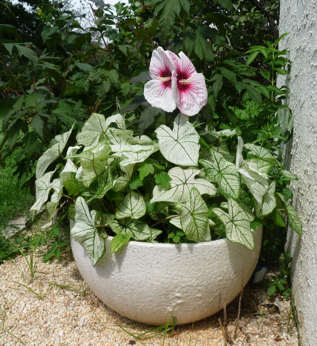 Glassblower.Info - Glassblowing Furnace Crucible Planter - Tony Patti Caladium and Hardy Hibiscus